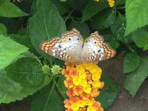 D242 Butterfly
